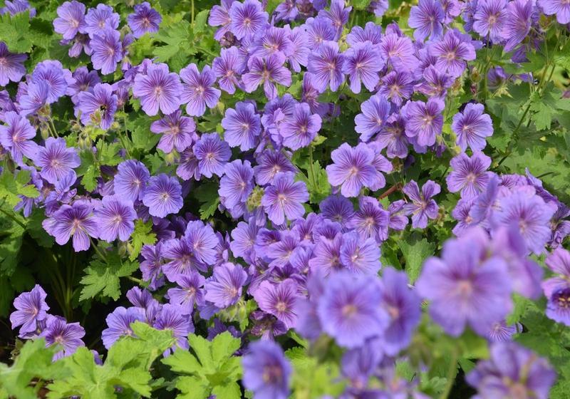 10 fleurs parfaites pour cr er un jardin cottage bricobistro for Un jardin de fleurs